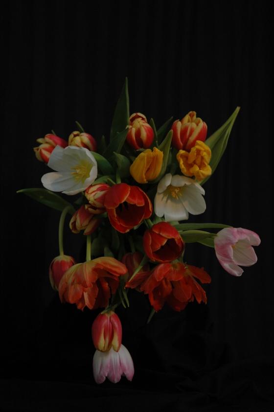 tulips_13 capricious
