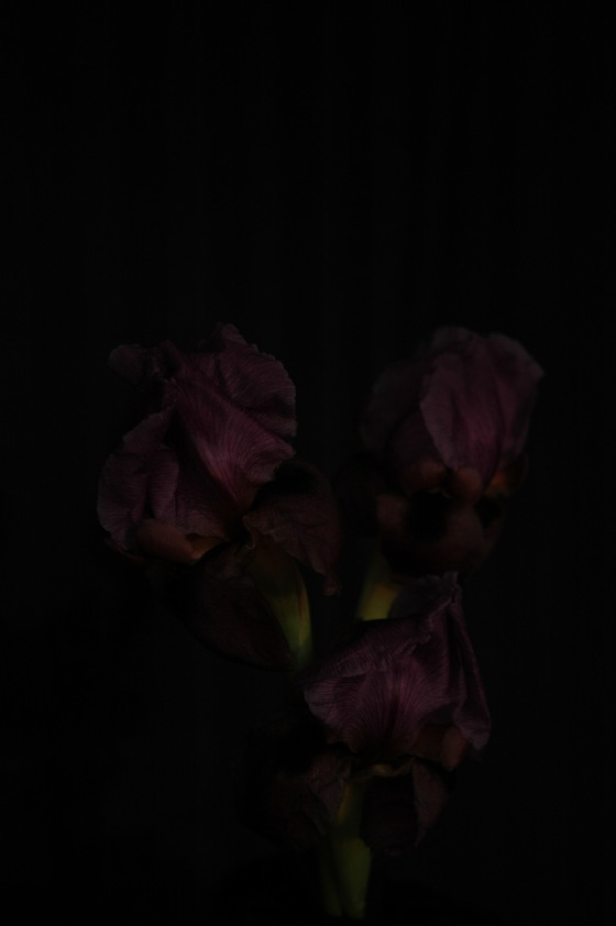 aril-irises_13 purple
