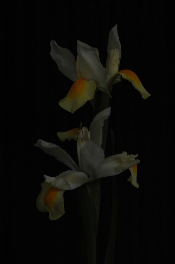 iris_13 white