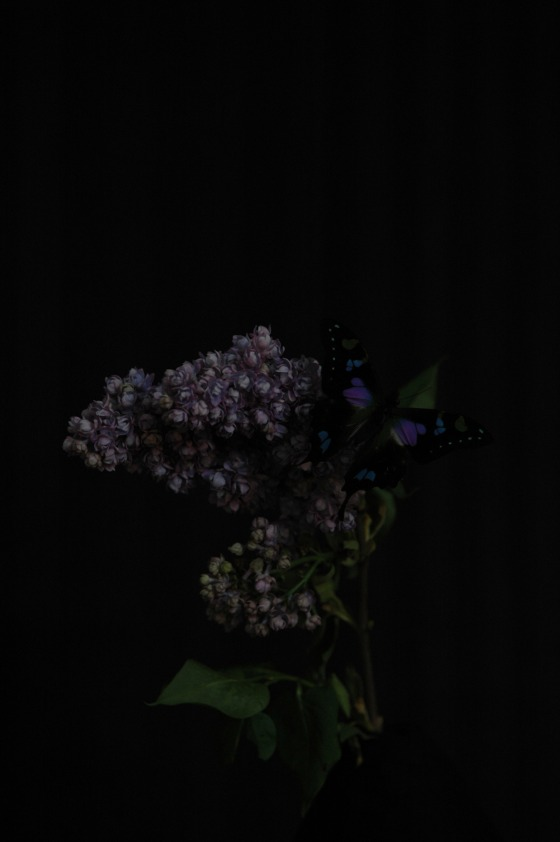 lilac & butterfly_13