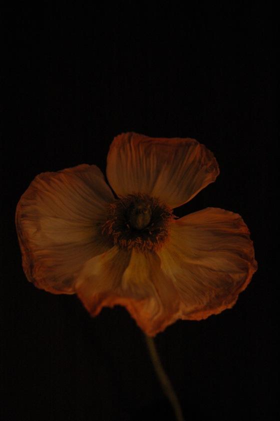 poppy_112-orange