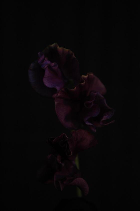 sweatpea_4 2013 purple
