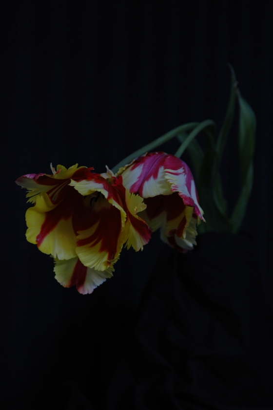 parrot tulips_13